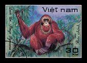 Post Stamp. Pongo Pygmaeus