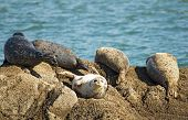 Five Harbor Seals Enjoy The Sun