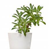 chirita linearifolia