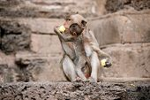 foto of baby-monkey  - Monkey mother and her baby sitting and eating corn on a floor Pagoda - JPG
