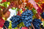 Ripe Napa Valley Grapes