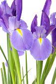 Closeup Bunch Of Purple Iris