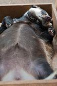 Funny sleeping young badger animal