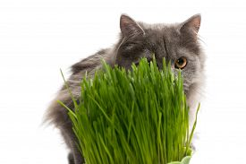 stock photo of catnip  - Persian kitten and a pot of green grass isolated on white  - JPG