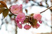pic of sakura  - pink flowers on the branches of Japanese sakura blossomed above fresh green leaves in garden - JPG