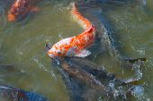 stock photo of koi fish  - Many Japanese Koi fish gathering to eat - JPG