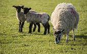 picture of spring lambs  - Beauitful landscape image of Spring lambs and sheep in fields during late evening light