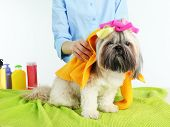 stock photo of barbershop  - Hairdresser towel Shih Tzu dog in barbershop - JPG