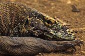 Closeup Of  Head And Sharp Claws Of  Komodo Dragon (varanus Komodoensis) In Pulau Rinca, Indonesia