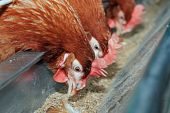 Red hens in trough
