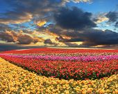 picture of buttercup  -  Farmers field with flowers grown for export sales - JPG