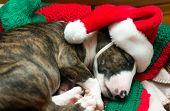 stock photo of dog christmas  - puppy with santa hat on christmas blanket