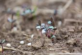 picture of buckwheat  - Sprouts of buckwheat - JPG