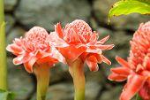 picture of torches  - torch ginger etlingera elatior flowers family zingiberaceae - JPG