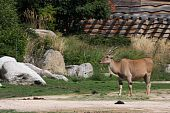 foto of eland  - Common Eland in the african plain of an european zoo - JPG