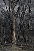 picture of spooky  - Spooky forest in spring with large dry trees - JPG