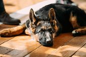 stock photo of puppy dog face  - Close Up Young German Shepherd Dog Puppy Sitting On Wooden Floor - JPG