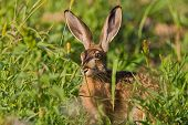 foto of wild-rabbit  - Portrait of a sitting brown hare  - JPG