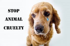 picture of animal cruelty  - Cute sad English Cocker Spaniel puppy in front of a white background with a tear sketch and stop animal cruelty sign - JPG