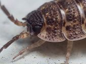Постер, плакат: Portrait Of A Rough Woodlouse