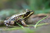 The Edible Frog. Shallow depth of field