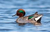 Green Winged Teal Portrait