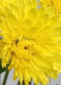 Close-Up Of Yellow Chrysanthemum
