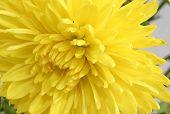 Macro Of Yellow Chrysanthemum
