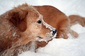 Snowy Golden Retriever