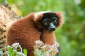 Beautiful Red Ruffed Lemur