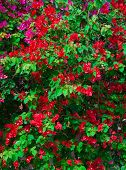 Red Pink Blooming Bougainvilleas With Green Foliage. Background.