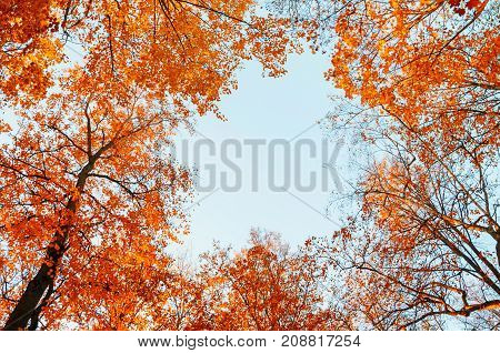 poster of Autumn trees. Orange autumn treetops on the background of blue sky. Autumn background - autumn colorful trees in the autumn forest. Colorful view of forest autumn nature. Forest trees in the autumn forest