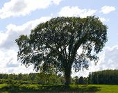 Ancient Elm Tree