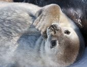 stock photo of baby animal  - cute little baby seal in the Antarctica - JPG
