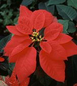Red-bracted Poinsettia