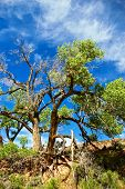 stock photo of cottonwood  - Two old cottonwood trees on the bank above a desert river - JPG