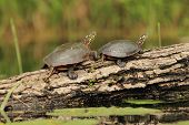 Pair of Painted Turtles on a Log