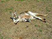 Kangaroo and baby