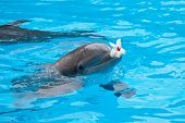 stock photo of grampus  - bottlenose dolphin in aquarium with flower on mouth - JPG