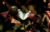 Mariposa - pionero