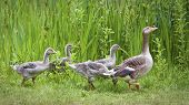 stock photo of mother goose  - Mother goose leading goslings in the wild - JPG