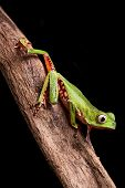 tree frog crawling on branch in tropical jungle of amazonian rain forest Brazil this beautiful amphi