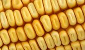 Extreme Close Up Of Yellow Corn Kernels