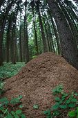 huge anthill in a forest