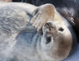 foto of baby animal  - cute little baby seal in the Antarctica - JPG