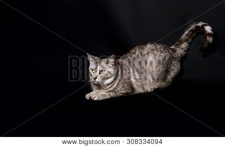 poster of Grey Beautiful Cat Isolated In Dark Background, Pet In Studio. Portrait Of Grey Kitten With Open Mou