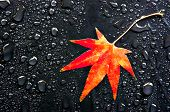 Red Leaf And Drops