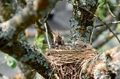 Nestling Song Thrush. Baby Bird With Wide-open Mouth Await Feeding. Hungry Chicks With An Orange Bea poster