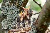 Nestling Song Thrush. Closeup Baby Birds With Wide-open Mouths Await Feeding. Two Hungry Chicks With poster