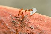 stock photo of fire ant  - fire ant teamwork in nature or in the garden